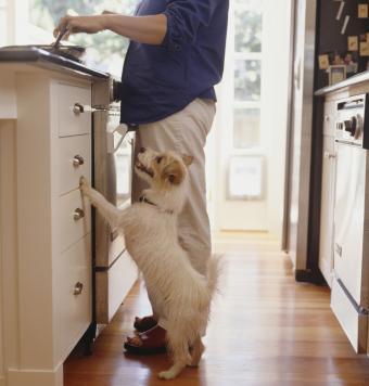Jack Russell watching owner prepare food