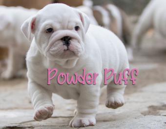 White English Bulldog puppy