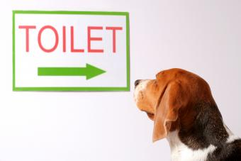 Dog looking for a toilet