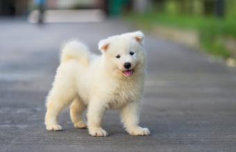 Puppy Samoyed boy