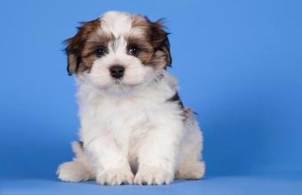 sitting Havanese puppy