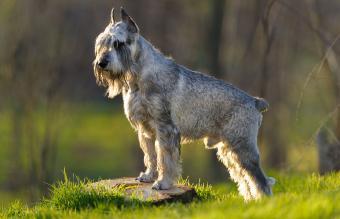 Standard Schnauzer dog outdoors