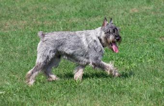 Older Standard Schnauzer trotting on grass