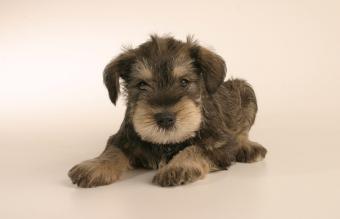 Image of a Standard Schnauzer puppy