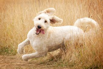 Running goldendoodle