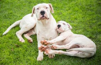 Dogo Argentino Breed Facts, Temperament, and Care