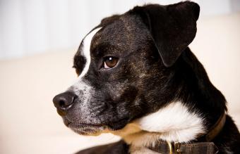 Portrait of a boglen terrier dog