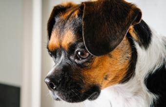 Brown and white boglen terrier