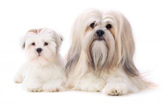 Adult and Puppy Lhasa Apsos