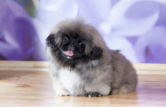 Pekingese Dog Profile