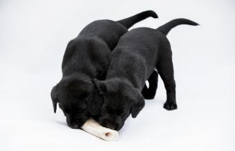 puppies chewing on a bone