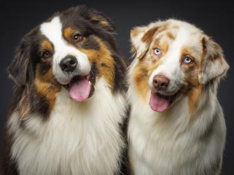 Two Australian Shepherd dogs