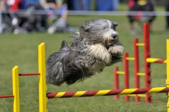 Bearded Collie on agility course