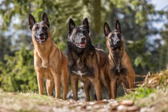 Three Belgian Malinois