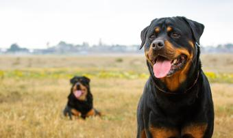 Rottweilers in a field