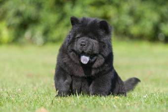 Black Chow Chow