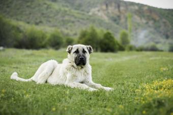 Anatolian Kangal Sheepdog