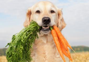 Dog with a bunch of carrots in mouth