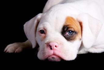 Miniature Boxer Puppies