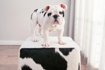 Black and white bulldog puppy dog