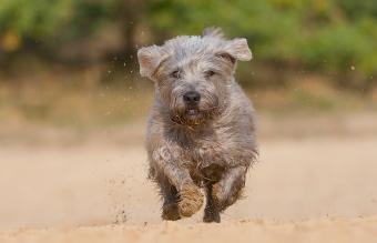 Irish terrier dog running