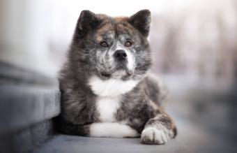 Japanese Akita inu dog