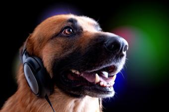 German Shepard wearing set of headphones