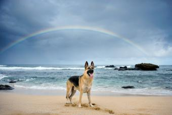 German Shepherd At Beach Against Rainbow