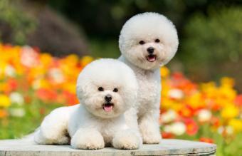 Cute white dogs