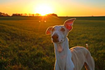 Galgo in the middle of a field at sunset