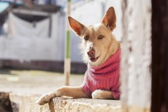 Dog with pink pullover in Andalusia