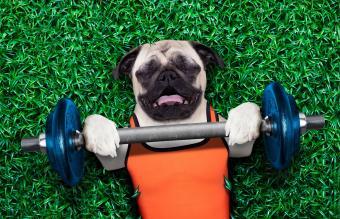 pug dog exercising