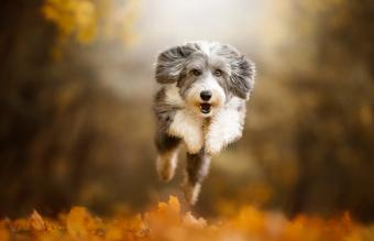 Bearded Collie jumping