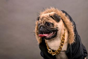 Pug dog with gangster look
