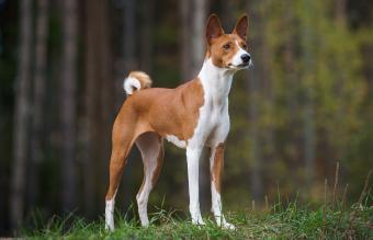 purebred basenji dog