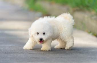Happy Bichon Frise puppy