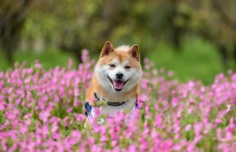 Japanese pet shiba inu