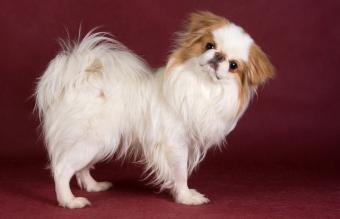 Japanese Chin dog