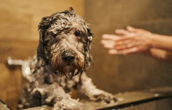 Labradoodle taking a bath