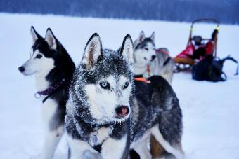 Husky Dogs On Snow Covered Field
