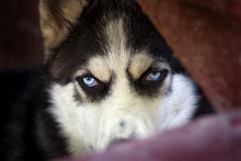 Blue eyes of Siberian Husky dog