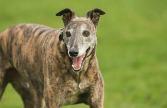 magnificent brindle coloured Greyhound