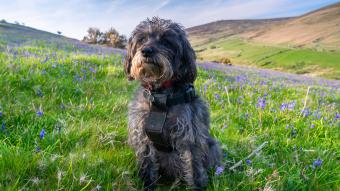 Schnoodle sitting in field of bluebell flowers