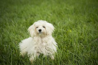 Maltipoo puppy running in grass