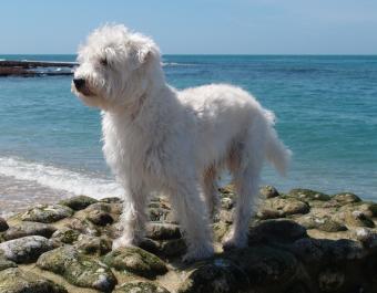 Westipoo standing on rocky shoreline