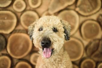 Woodle dog posing for camera