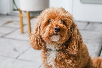 Bichpoo dog