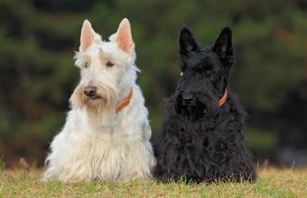 Pair of black and white scottish terrier