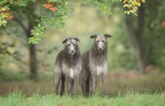 Two Scottish Deerhounds Dogs