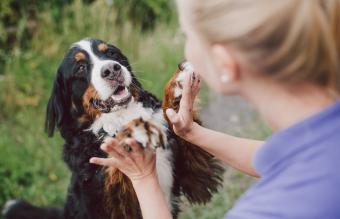 Woman playing with bernese mountain dog